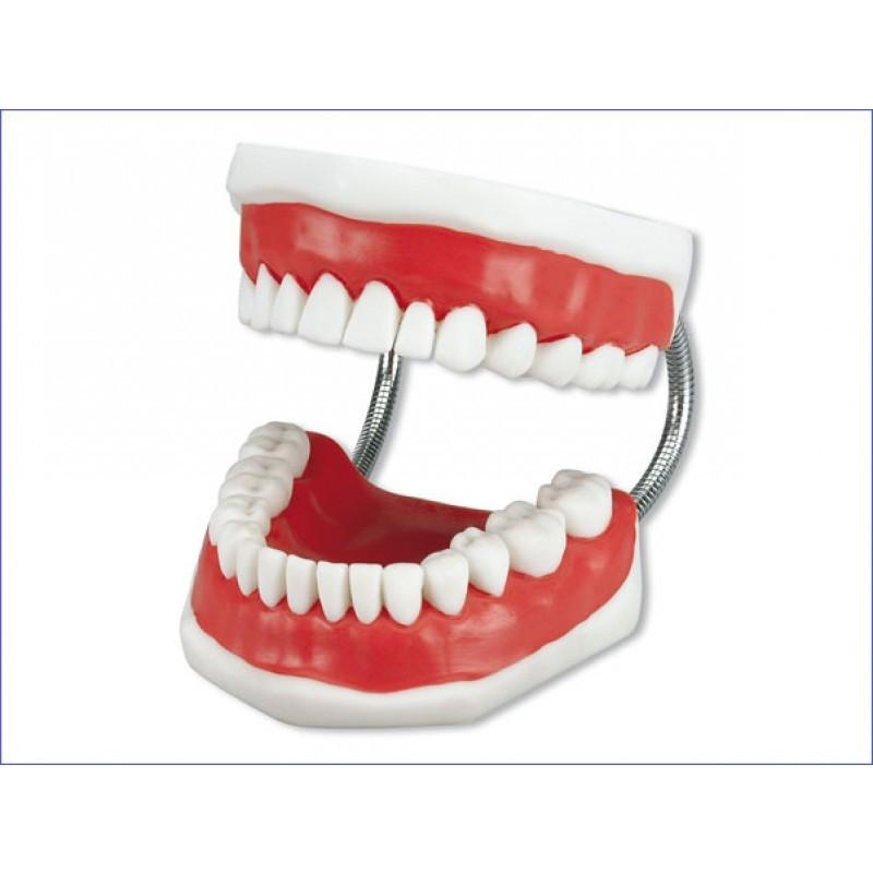 Модель демонстрационная с супер зубной щеткой Toothbrushing Model